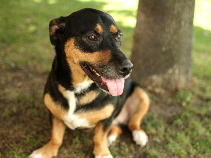 Dog Happy (Rottweiler-beagle mix)
