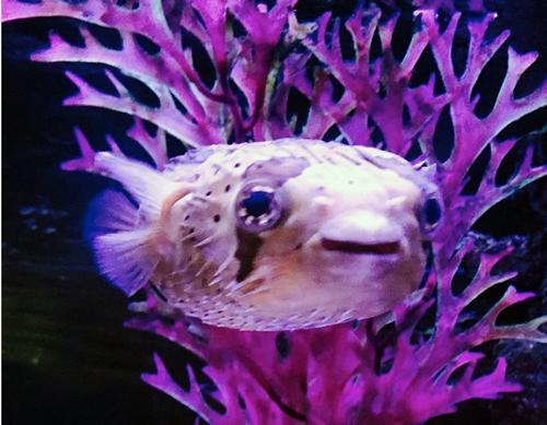 Blowfish Pablow