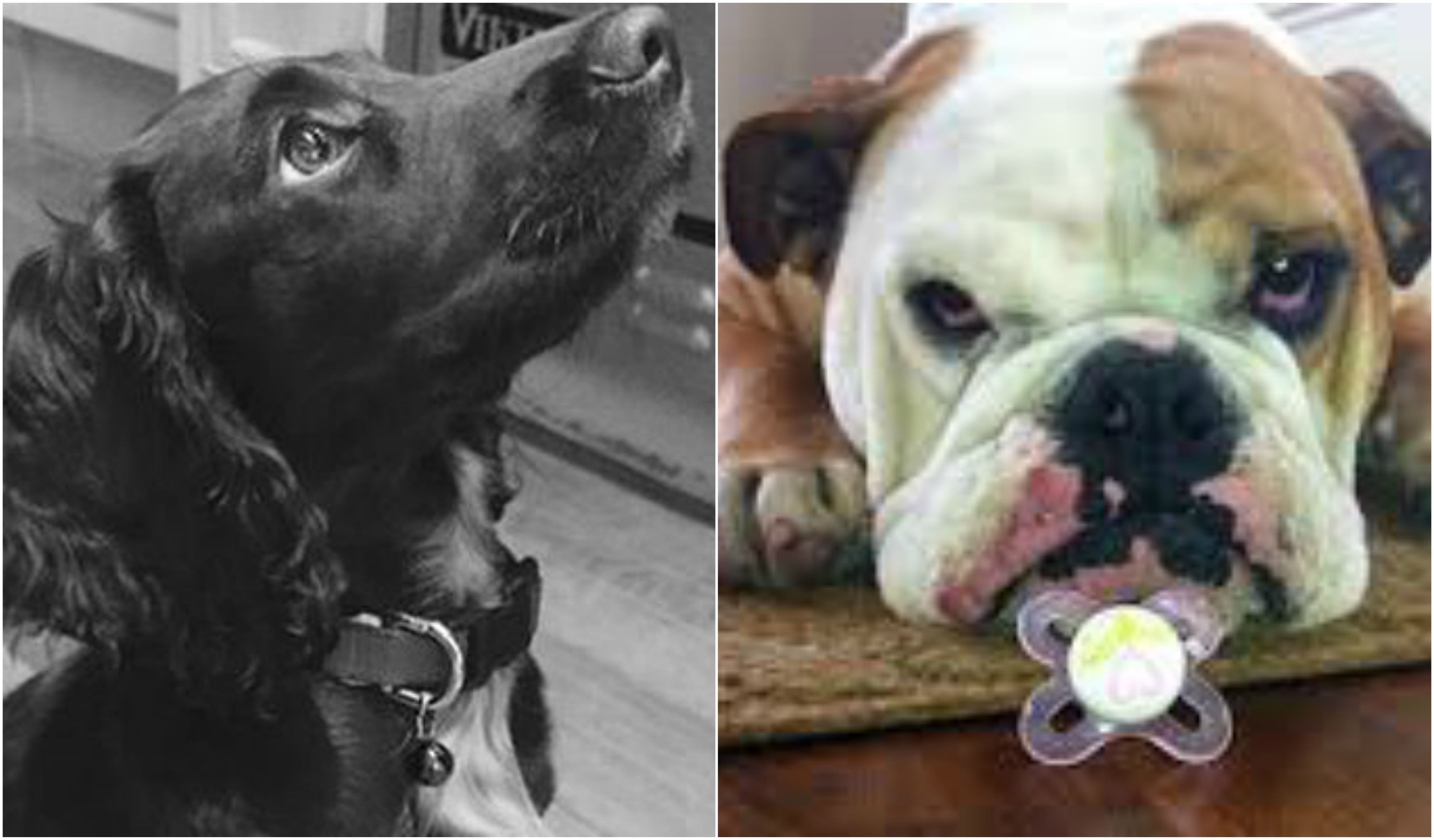 The Beckhams Pets Four Dogs