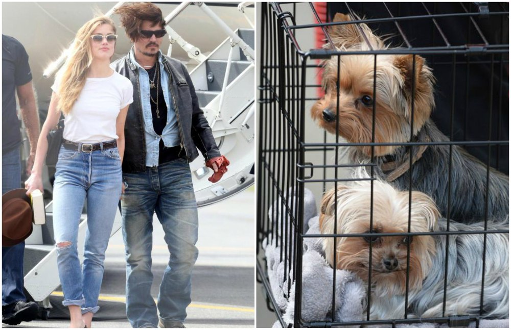 Amber Heard`s dogs Pistol and Boo in Australia