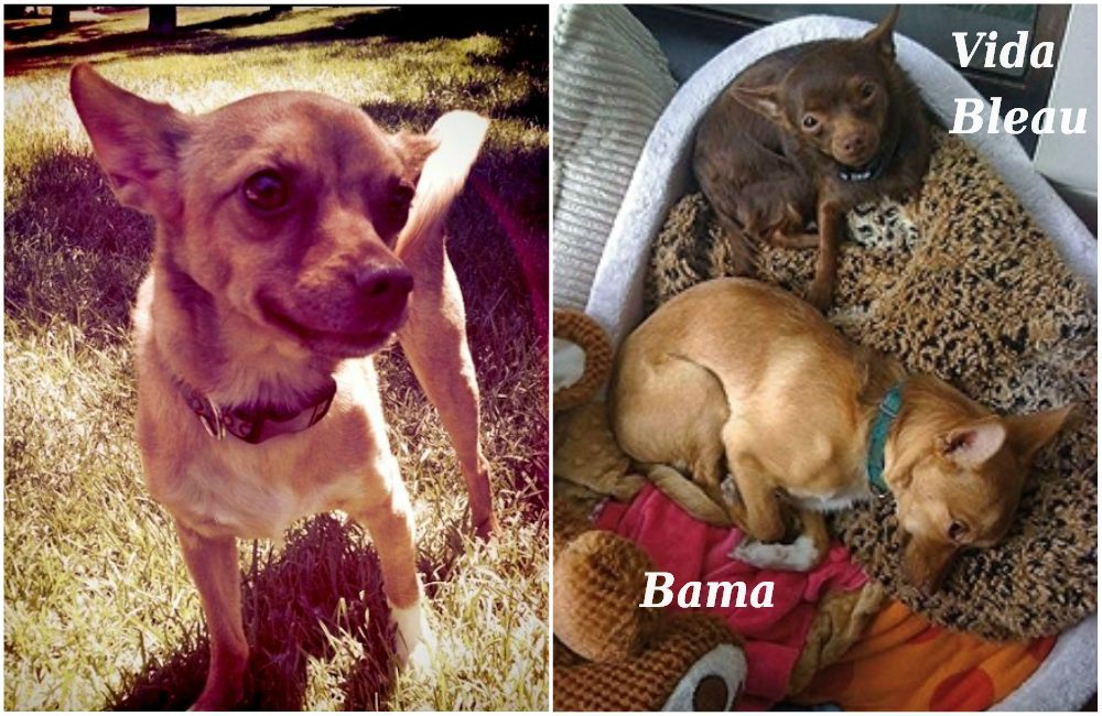 Ashton Kutcher`s pet - dog Bama. Vida Bleau is Demi Moore`s pet