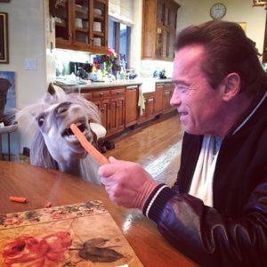 Arnold Schwarzenegger pony - Whiskey