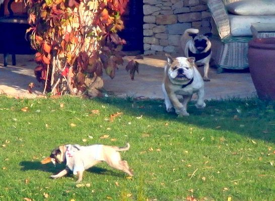 brad-pitt-angelina-jolie-pets-dog-jacques-and-2-pugs