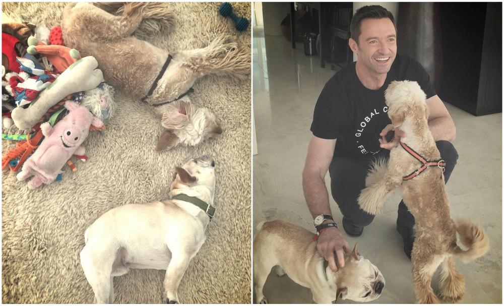 Hugh Jackman Dogs